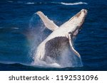 breaching juvenile whale with... | Shutterstock . vector #1192531096