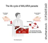 life cycle of a malaria... | Shutterstock .eps vector #1192605160