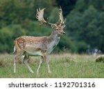 fallow deer  dama dama  in its... | Shutterstock . vector #1192701316