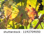 autumn and grape harvest  red... | Shutterstock . vector #1192709050