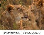 lions caress  masai mara  kenya | Shutterstock . vector #1192720570