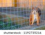 cute ginger squirrel in zoo.... | Shutterstock . vector #1192735216
