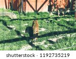leopard in zoo. life in custody. | Shutterstock . vector #1192735219