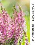 heather flowers. bright natural ...   Shutterstock . vector #1192737976