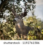 a columbian black tailed deer... | Shutterstock . vector #1192761586