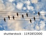Pigeons Bird On The Wire. Musi...