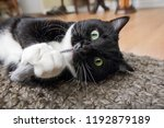 Stock photo black and white tuxedo cat playing with a catnip mouse 1192879189