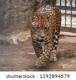 Leopard Portrait Walk In The...