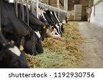 holstein in the barn | Shutterstock . vector #1192930756