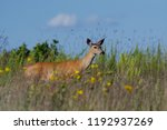 White tailed deer in the Crex Meadows Wildlife Area near Grantsburg Wisconsin.