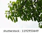 golden green leaves and... | Shutterstock . vector #1192953649