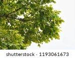 golden green leaves and... | Shutterstock . vector #1193061673