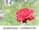 red rose morning sun light... | Shutterstock . vector #1193062159