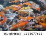 koi on the water. | Shutterstock . vector #1193077633