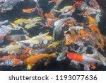 koi on the water. | Shutterstock . vector #1193077636