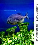 ordinary piranhas are a species ... | Shutterstock . vector #1193080849