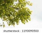 golden green leaves and... | Shutterstock . vector #1193090503