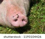 pig snout close up | Shutterstock . vector #1193104426