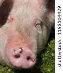 pig snout close up | Shutterstock . vector #1193104429