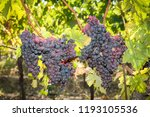 grape harvest  bunches of red... | Shutterstock . vector #1193105536