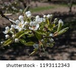 pear blossom. this tree is in... | Shutterstock . vector #1193112343