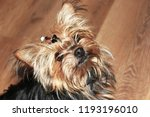 funny cute shaggy red pet dog ... | Shutterstock . vector #1193196010