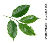 coffee leaf isolate on  white... | Shutterstock . vector #1193365156