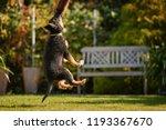 bohemian shebohemian shepherd... | Shutterstock . vector #1193367670