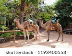 A Pair Of Camels With Seats Fo...