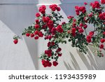 ivy of red roses on a white wall | Shutterstock . vector #1193435989