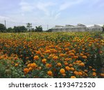 marigold flower and field with... | Shutterstock . vector #1193472520
