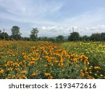 marigold flower and field with... | Shutterstock . vector #1193472616