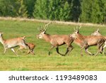 Herd Of Deer With Antlers And...