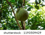 Pomelo  Ripening Fruits Of The...