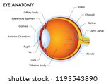 illustrator of a human eye... | Shutterstock .eps vector #1193543890
