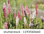 cylindrical spikes of many pale ... | Shutterstock . vector #1193560660