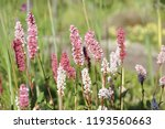 cylindrical spikes of many pale ... | Shutterstock . vector #1193560663