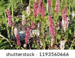 cylindrical spikes of many pale ... | Shutterstock . vector #1193560666
