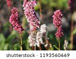 cylindrical spikes of many pale ... | Shutterstock . vector #1193560669