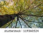 Northern Red Oak Tree Growing...