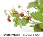 Strawberry Plant With Fruits...