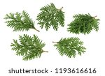 Branch Of Thuja Isolated On...