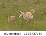 Pronghorn Mother And Fawns In...