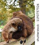 two brown lemurs cuddled up... | Shutterstock . vector #1193757526