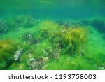 underwater filamentous algal... | Shutterstock . vector #1193758003
