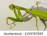 a female mantis. predatory... | Shutterstock . vector #1193787859