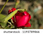 a female mantis. predatory... | Shutterstock . vector #1193789866