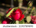 a female mantis. predatory... | Shutterstock . vector #1193789890