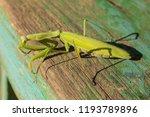 a female mantis. predatory... | Shutterstock . vector #1193789896