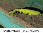 a female mantis. predatory... | Shutterstock . vector #1193789899